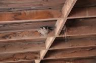 Multiple sparrow nests - fly birds fly!