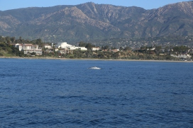 Gray whale!