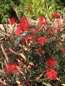 Look closely - the hummingbird blends in