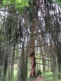 Snake Spruce tree - wild!