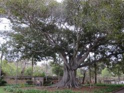 Moreton Bay Fig - Australia