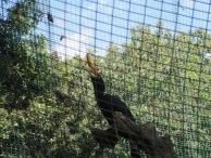 Rhinorceros Hornbill - their calls sound like barks!