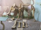 Pygmy and full size mammoth skeleton and bones. Skeleton named Rosie, as bones were found on Santa Rosa Island