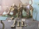 Pygmy and full size mammoth skeleton and bones. Skeleton named Rosie, as bones were found on Santa Rosa Island