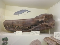 Giant Toothed Whale, Eocene whales apparently evolved quickly from being land mammals (Miocene period)