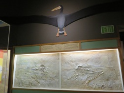 Giant Toothed Bird (flew over CA 19 million years ago), no living relatives but resembles an albatross, wingspread of 14-17', long hooked bill implied it was a fish eater. Extinct during the Miocene era when water covered the Santa Maria valley, the bird sunk into the mud and was turned to stone. You can see the imprints on the mud/stone above.
